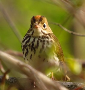 Ovenbird 1 - by Chris Van Lonkhuyzen