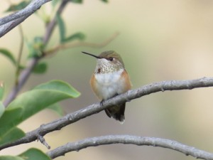 Rufous Hummingbird female Kean