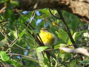Yellow-breasted Chat Kean