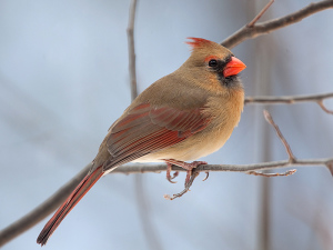 IMG_177156er Northern Cardinal_Boardman Lake 800x600