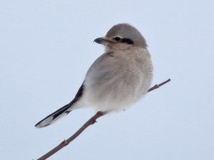 IMG_178392er Northern Shrike_Secor Rd 800x600