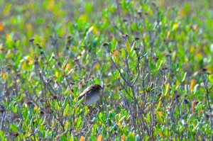 Saltmarsh or Nelson's Sparrow