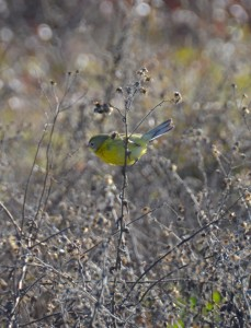 first winter Prairie Warbler1