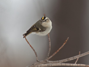 IMG_178418er Gold Crowned Kinglet_Deadstream Road 1000x750