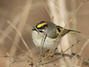 Golden-crowned Kinglet R