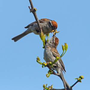 Chipping Sparrow feeding young