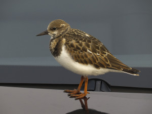 Ruddy Turnstone, On my car at Clinch Marina