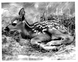 Walter Hastings - fawn
