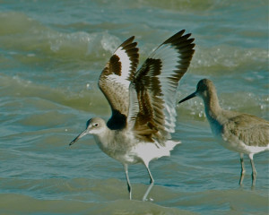 two willets. Sanibel FL