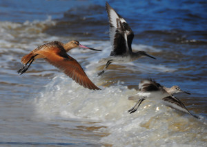 marble godwit. and friendsjpg
