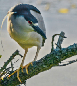 sitting night heron-HDR