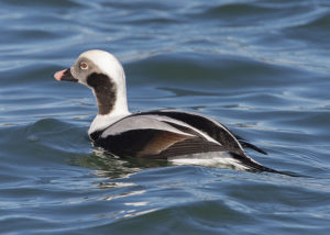 long-tailed-duck-r1